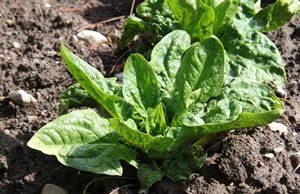 Spinat anbauen