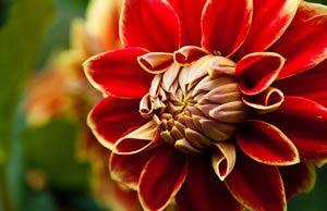 rote Dahlien-Blüte