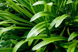 Blätter der Schmucklilie