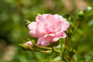 Blüte der Strauchrrose