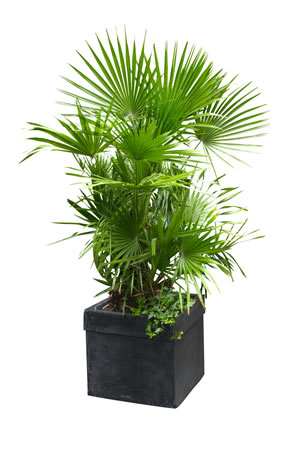 Palmen überwintern - Pflege winterharter Palmen - Gartendialog.de