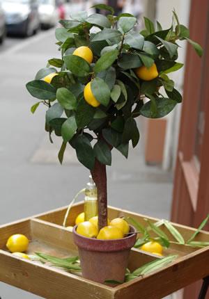 Zitronenbaum in Orangerie überwintern