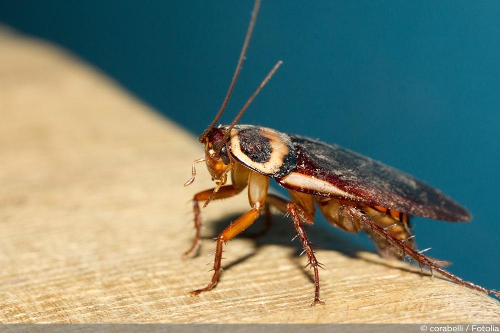 Insekten schabenähnliche Insekten aus