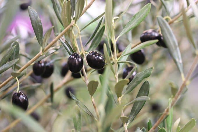 Olivenbaum überwintern - Anleitung und Pflege-Fehler - Gartendialog.de