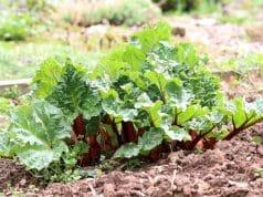 Favorit Rhabarber blüht - ist er blühend noch essbar? - Gartendialog.de QY32