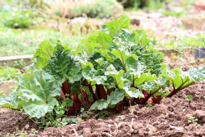 Geliebte Rhabarber - Anbau, Pflege & Ernte - Gartendialog.de @SC_33