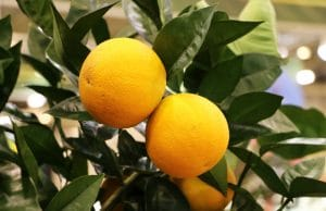 Grapefruit Zitruspflanzen
