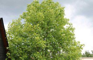 Tulpenbaum