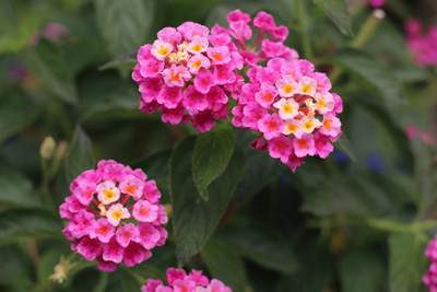 Wandelröschen, Lantana camara, Quadratische Blumenkübel