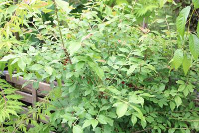 Pfaffenhütchen giftige Pflanzen