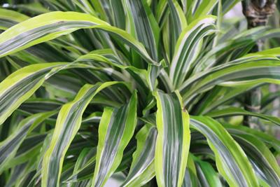 Zimmerpalmen - Palmen-Arten und Pflege als Zimmerpflanze ...