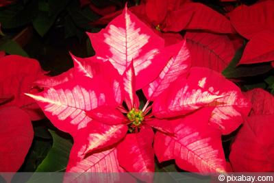 weihnachtsstern verliert blätter