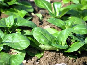Feldsalat anbauen