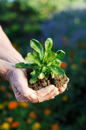 Feldsalat-Pflanze
