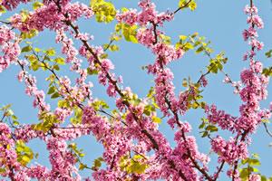 Blüten des Cercis