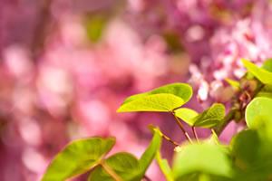 Blätter des Judasbaums