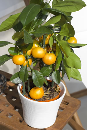 Mandarinenbaum im Kübel