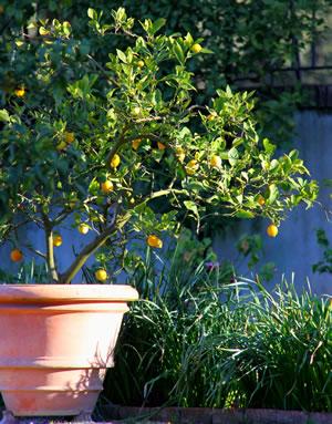 Zitronenbaum im Kübel