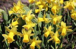 Frühlingsblumen Narzissen