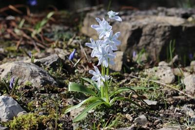 Scheinscilla Frühlingsblumen