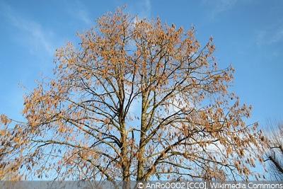 Corylus columa Haselnussbaum