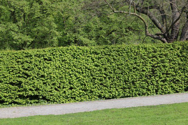 Extrem Buchenhecke - Pflanzen, Pflege und Schneiden - Gartendialog.de DT46