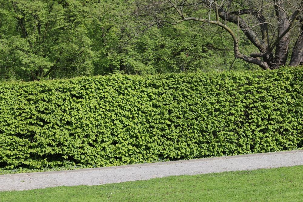 buche-fagus-hecke-beitragsbild-3260 Suchergebnis Auf Amazon.de Für: Heckenpflanzen
