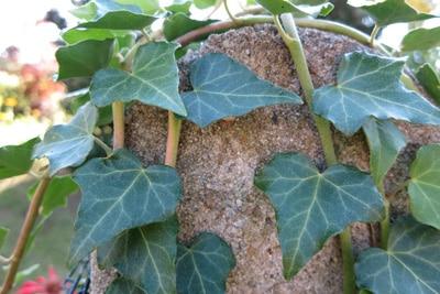 Rankpflanzen Efeu