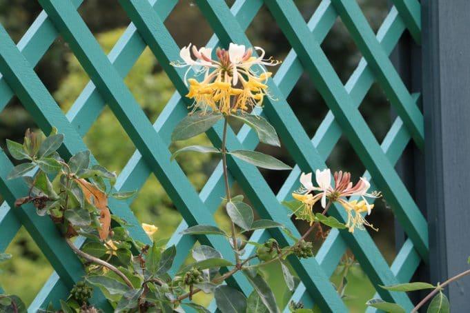 Etwas Neues genug Geißblatt, Heckenkirsche - Pflanzen, Pflege und Schneiden @IP_34
