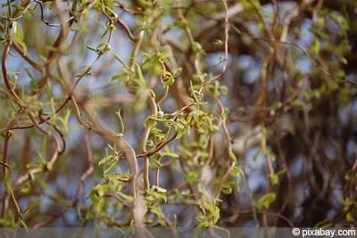Berühmt Korkenzieherweide - Pflege, Schneiden und Vermehren - Gartendialog.de @MD_86