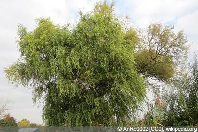 Prächtig Korkenzieherweide - Pflege, Schneiden und Vermehren - Gartendialog.de @NZ_24
