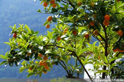 Mandarinenbaum