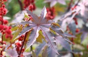 Wunderbaum Rizinus