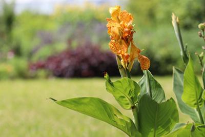Blumenrohr Canna