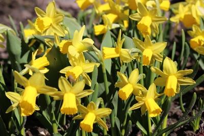 Narzissen Narcissus, Blumen vertragen Frost