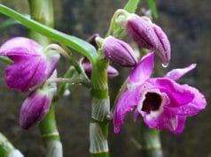 Orchidaceae Dendrobium Orchideen