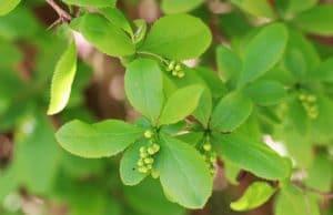 immergrüne Sträucher, Berberitze