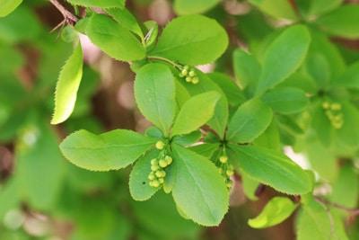 Berberitze - Berberis vulgaris