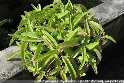 Brutblatt Wunderblatt Goethe-Pflanze