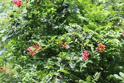 Fabelhaft Trompetenblume, Campsis - Pflege, Vermehren und Überwintern @YI_93
