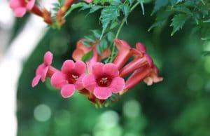 Trompetenblume Campsis