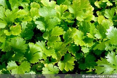 Top Koriander - Anbau, Pflanzen, Pflege und Ernte - Gartendialog.de @LI_04