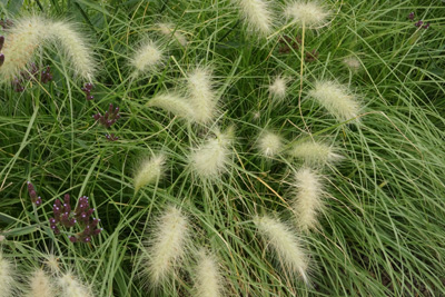 Lampenputzergras Pennisetum alopecuroides