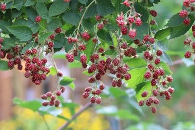Brombeere Rubus