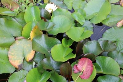 Etwas Neues genug Seerosen, Teichrosen - Pflanzen, Pflege und Überwintern #WH_27