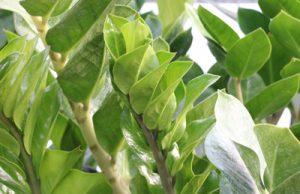 Zamioculcas zamiifolia - Glücksfeder - Zamie