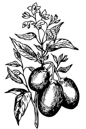 Zeichnung der Pepino Pflanze