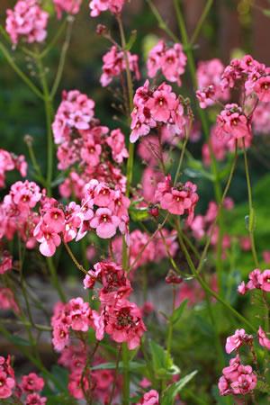 Blüten des Nemesia