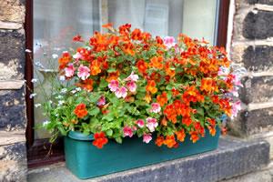 Elfenspiegel im Blumenkasten