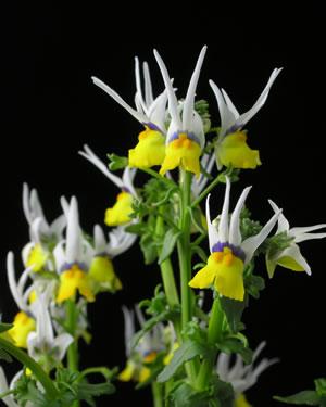 Blüten von Nemesia